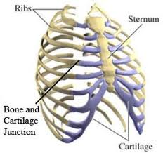 chest and ribs - Austin Chiropractic - Dr. James Lee
